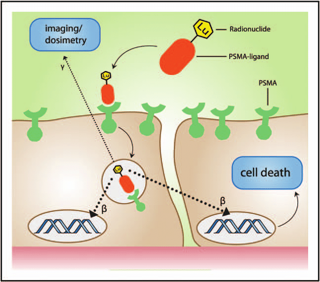 Mechanism-of-therapy-with-lutetium-177-labelled-prostate-specific-membrane-antigen